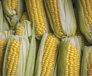 corn, country life, and growing image