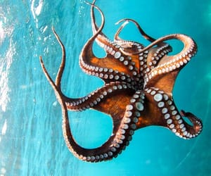 animal, octopus, and sea image