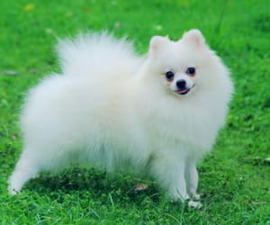 pomeranian dog and pomeranian dog breeds image