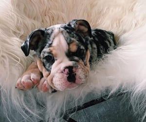 animal, bulldog, and puppy image