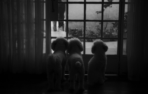 dog, dogs photo poodles, and photographer image