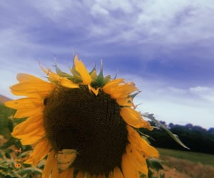 summer, sunflower, and huji image