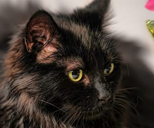longest living cat breeds image