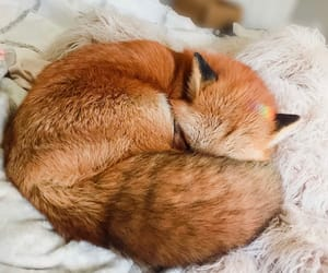 animal, fox, and fluffy image
