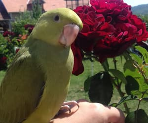 flower, parrot, and roses image