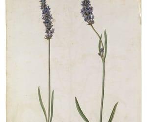 botanical, lavender, and lavandula angustifolia image