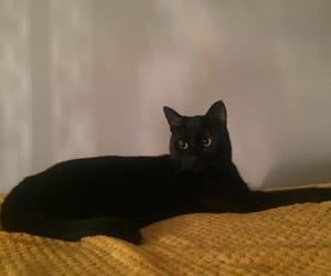 black cat, cat, and gato image