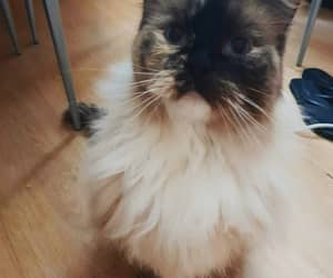 cat, ragdoll cat, and kitty image