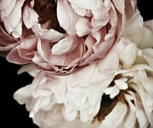 flowers, nature, and peonies image