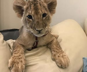 lion, animal, and luxury image