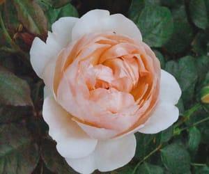 blush, flower, and retro image