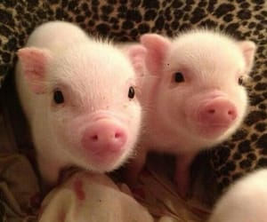 pig, animals, and pink image