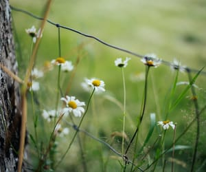 chamomile, Wild Flowers, and country life image