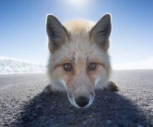 animal, fox, and curious image