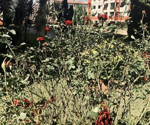 nature, red rose, and wither image