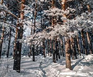 forest, pines, and seasons image