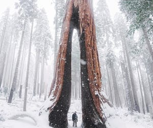 forest, sequoias, and snow image