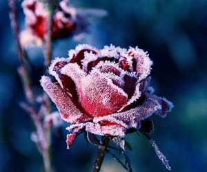 flowers, frost, and rose image