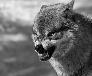 wolf and angry image