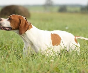 pointer dog breed image