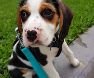 animals, beagle, and dogs image