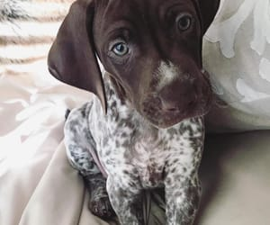 animals, dogs, and GSP image