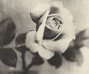 photograph, rose, and vintage image