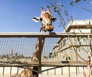 animal, giraffe, and beauty image