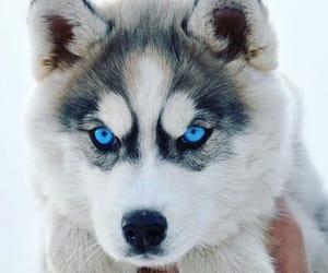 adorable, blue, and huskies image