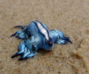 animals, awesom, and glaucus atlanticus image