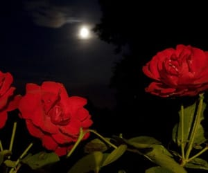 moon, night, and rose image