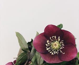 burgundy, flower, and garden image