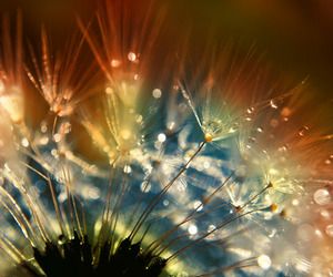 dandelion and pitypang image