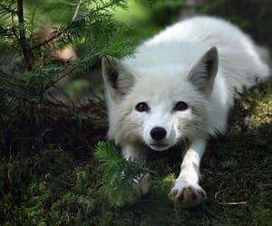 animal, fox, and artic fox image