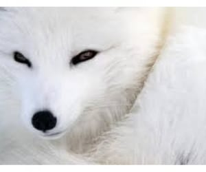 animals, artic, and white image