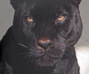 black, animal, and panther image
