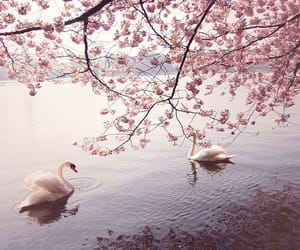 pink, Swan, and flowers image
