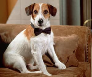 jack russell and jack russell terrier image