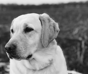 black and white, dog, and golden retriever image