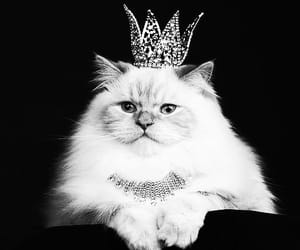 cat, animal, and Queen image