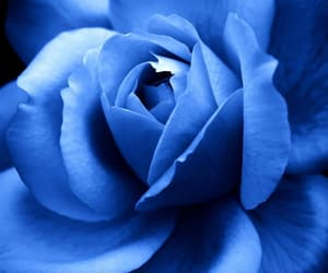 blue, flower, and rose image