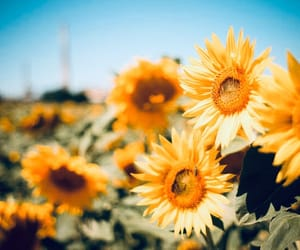flower, sunflower, and yellow image