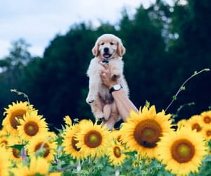 dog, flower, and sunflower image