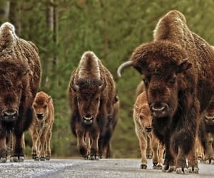 Bison on the move, Yellowstone by Danny Chan