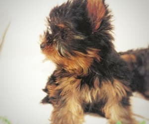 dog, puppy, and yorkies image