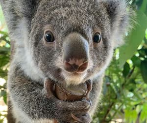 animal, Koala, and nature image