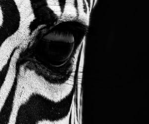 animal, black and white, and zebra image