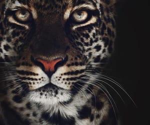 animals, eyes, and leopardo image