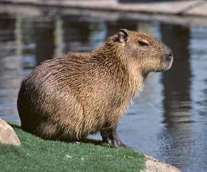 capybara and capybara pet image