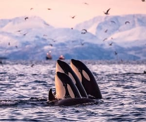 killer whale, nature, and norway image